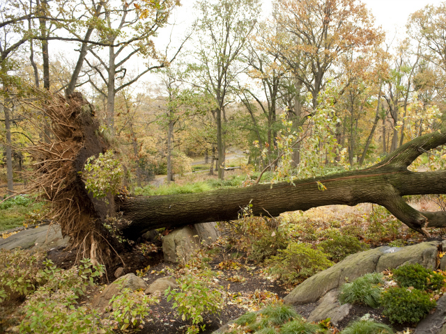 <p>An uprooted tree at the New York Botanical Garden.</p>