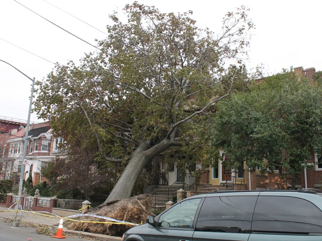 <p>&nbsp;A massive tree toppled on 27th Street in Astoria, Queens. City officials and residents are concerned that rain and high winds from Wednesday&#39;s nor&#39;easter could knock down more trees and branches that were weakened by Hurricane Sandy last week.</p>