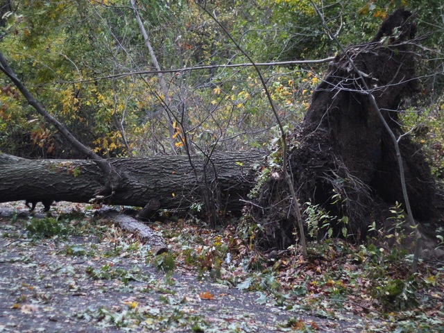 <p>Uprooted tree in Inwood Hill Park.</p>