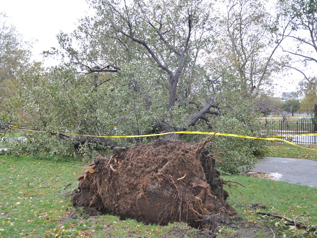 <p>A giant tree locals said was a Geraldo Tree was uprooted by McCarren track during Hurricane Sandy on Oct. 29, 2012.</p>