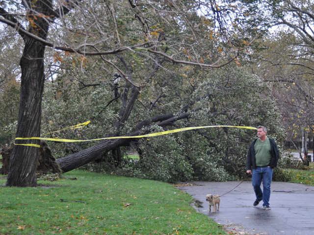 <p>A man walked his dog past a giant fallen tree in McCarren Park on Oct. 30, 2012.</p>