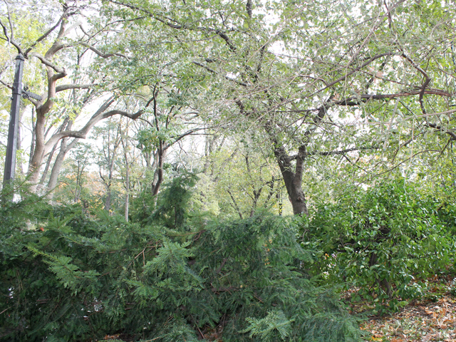 <p>There are still some felled trees present in Central Park, even near the terminus of the upcoming ING New York City Marathon on 67th Street.</p>