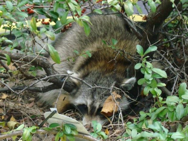 The raccoon that took shelter at a Queens library during Hurricane Sandy still has not found his way out.
