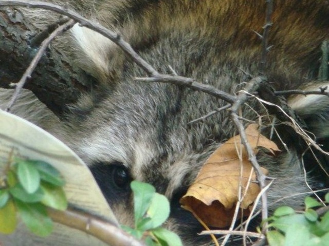 <p>No one knows how the raccoon got into the atrium.</p>