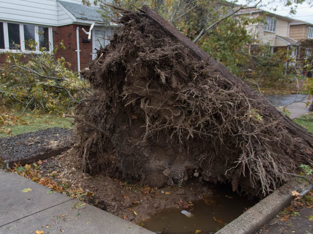 <p>A&nbsp;Tysens&nbsp;Lane tree lay uprooted by Hurricane Sandy on Tuesday.</p>