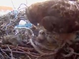 Baby Hawks Born on Camera in Washington Square Park