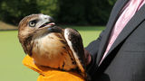 Baby Red-Tailed Hawk Released After Ft. Greene Park Rescue