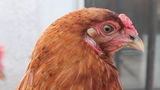 Forget Dogs, Brooklyn Company Wants Chickens to be Man's Best Friend