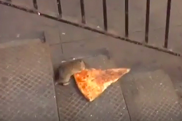 video  rat drags entire slice of pizza down subway stairs