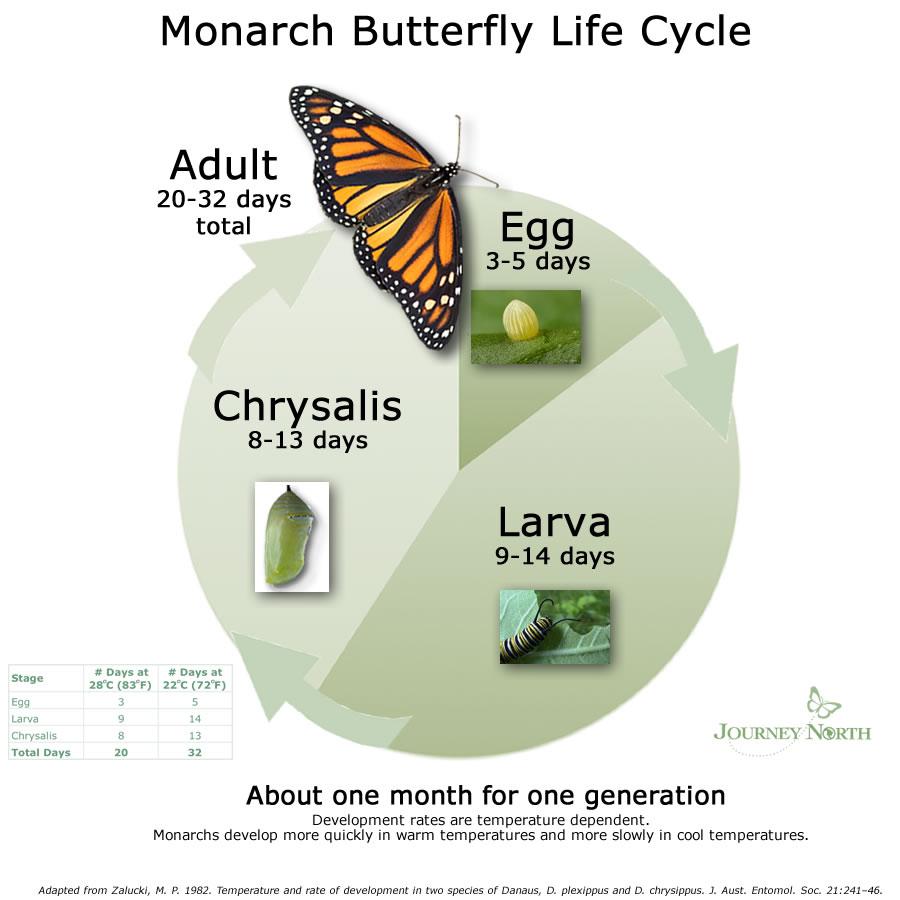 Zulfi, Monarch Butterfly