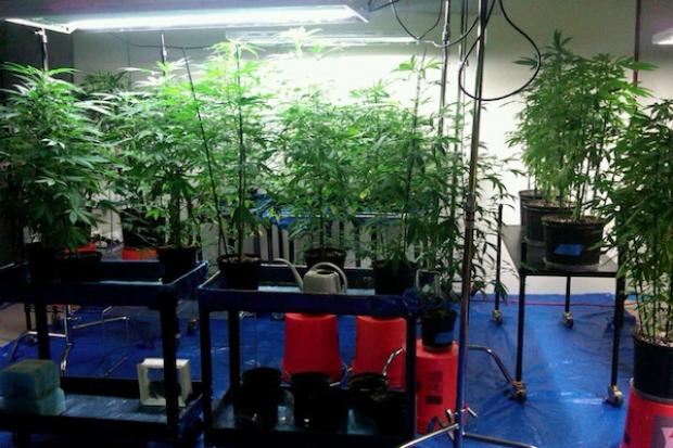 A look inside a sophisticated pot manufacturing operation police busted on the Northwest Side.