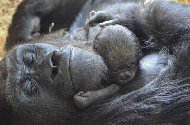 A newborn western lowland gorilla and its mother, Bana, photographed at Lincoln Park Zoo.