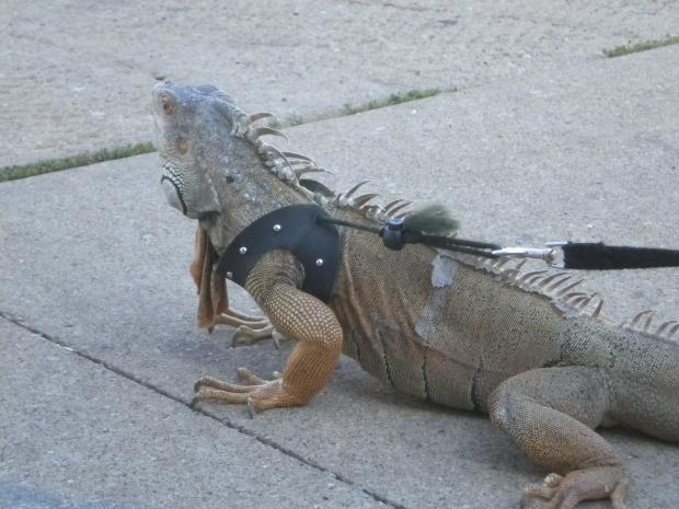 Samie Kennedy loves taking his pet iguana, Zilla, for walks and around the Bridgeport neighborhood.