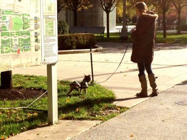 A woman walks her dog along the perimeter of Millennium Park, where dogs are not allowed.