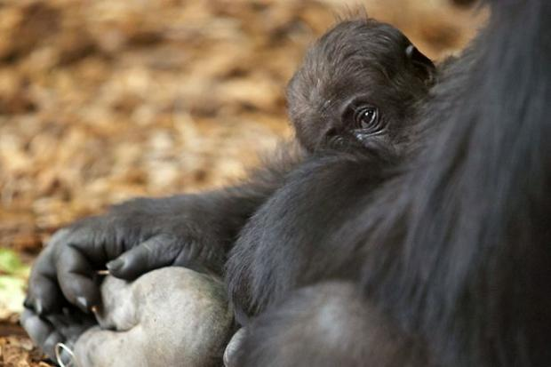 Lincoln Park Zoo named its newest baby gorilla Patty.
