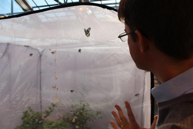 Professor Marcus Kronforst raises butterflies for research in the University of Chicago's rooftop greenhouse.