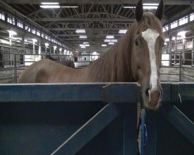 Horses drawing carriages might face more work days with changes proposed by Mayor Rahm Emanuel.