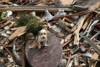 Two dogs amid the tornado destruction in Moore, Okla. A team from PAWS Chicago is headed to Oklahoma this weekend to rescue 75 animals and put them up for adoption.