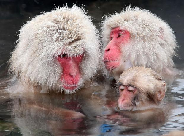 Japanese macaques are also known as snow monkeys.