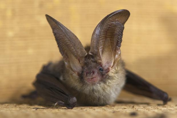 Two rabid bats have been found since Saturday in Beverly and Morgan Park, according to Ald. Matt O'Shea (19th).