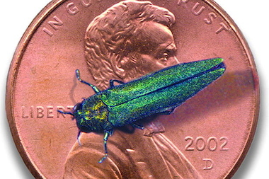 The emerald ash borer perched on a penny.