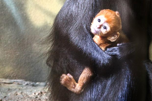 An endangered Francois' langur was born at the Lincoln Park Zoo.