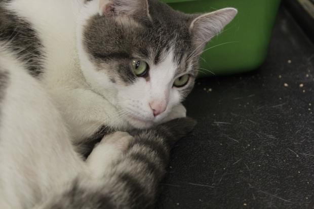 Hyde Park Cats has seen a sudden influx of homeless cats, including one that was found in the apartment of a University of Chicago student sent to a mental health facility.