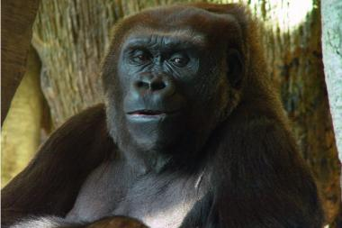 Kowali, a Western lowland Gorilla, was recently transferred from the Lincoln Park Zoo to Knoxville, Tenn.
