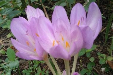 A colchicum from Joy Rosner's yard, one of the few fall blooming blossoms at the Mum and Bulb Sale.