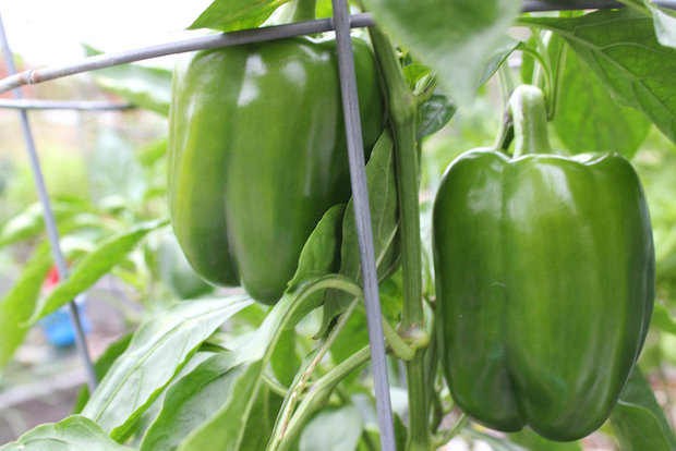 DNAinfo.com Chicago's resident urban gardener has plenty of green peppers. But will they ever turn red?