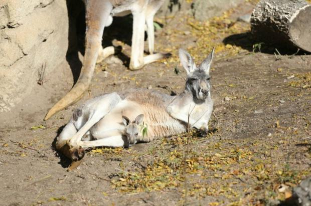 A baby red kangaroo is the newest resident of the Lincoln Park Zoo.