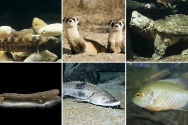 Here are endangered animals being aided by personnel from Shedd Aquarium and Lincoln Park Zoo. They include (clockwise from top left) Iowa Darter, Black-Footed Ferrets, Alligator Snapping Turtle, Redspotted Sunfish, Lake Sturgeon and a Hellbender. Saturday marks the 40th anniversary of the Endangered Species Act.