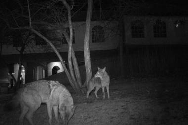 Coyotes photographed by a camera trap on the Near North Side.