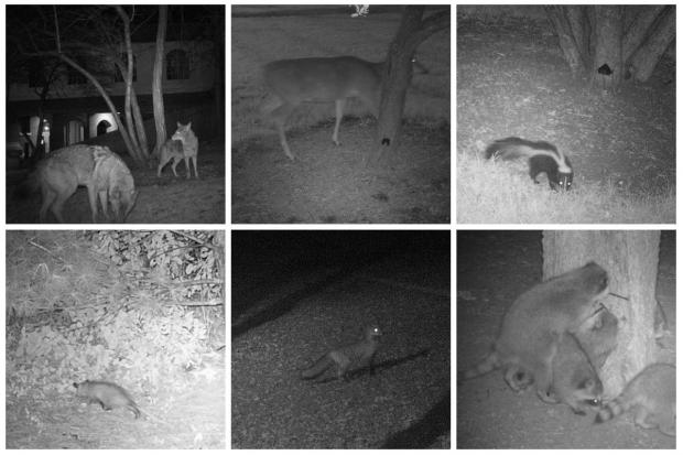 Lincoln Park Zoo's Urban Wildlife Institute has been tracking mammal movements in Chicago with camera trap photography for the last three years.