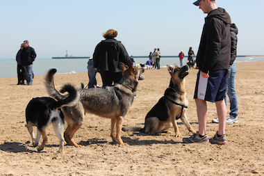 Dog owners play with their pups at Montrose Dog Beach on March 30, 2014.
