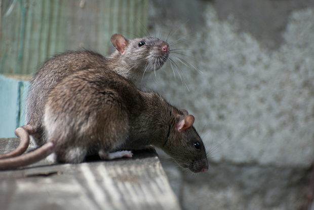 A proposed city ordinance says city rat complaints are on pace to rise 50 percent this year.