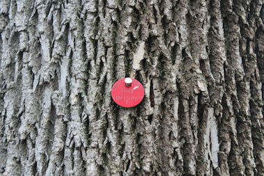 Ash trees that were treated in 2013 with an injectable insecticide were marked with a red medallion.