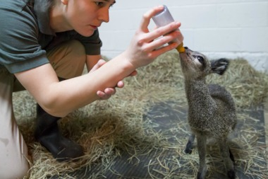 The Lincoln Park Zoo announced the birth of a baby klipspringer Thursday. The antelope calf, born March 30, is indigenous to Africa.