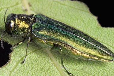 The Emerald Ash Borer has likely infested all of the ash trees in the 45th Ward, Ald. John Arena said.