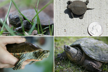 Turtles commonly found in Chicago include a baby painted turtle (top left and top right), a common snapping turtle (bottom right) and an adult painted turtle (bottom life).