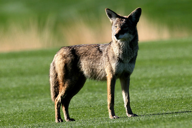 Coyotes spotted in Uptown spook pet owners.