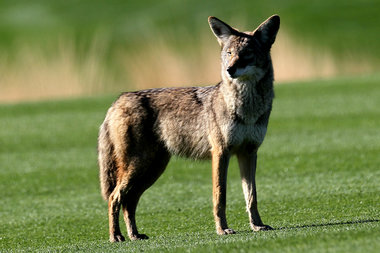 A coyote stands on the 12th fairway at SilverRock Resort during the fourth round of the Bob Hope Classic on Jan. 24, 2010 in La Quinta, Calif.