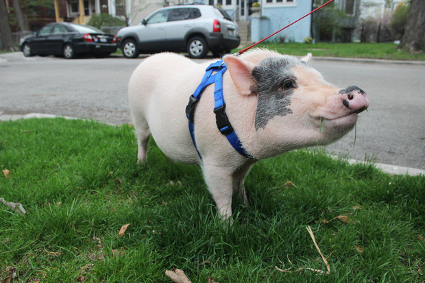 Micro-pig Linus has become well-known around his owner's Edgewater block.