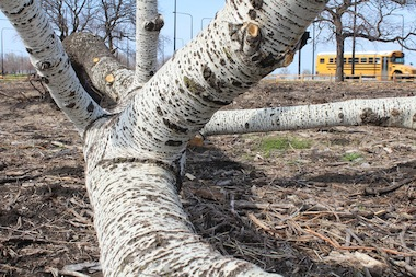 Volunteers will go out on Saturday to plant 50,000 trees to replace invasive trees like white poplars and others along South Lake Shore Drive.