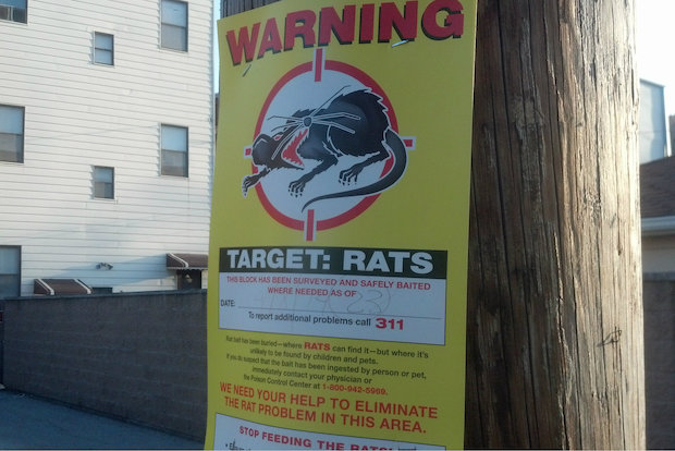 Rat file photo
