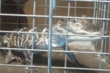 Sheriff's deputies found a 13-inch-long alligator in the dining room of a Chatham apartment where they were serving out an eviction.