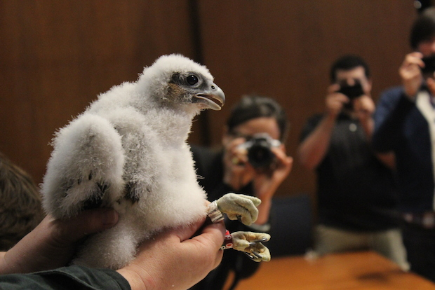 Three falcon chicks making their home at UIC's University Tower were tagged Friday.