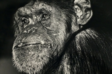 Vicky, a 50-year-old chimpanzee, was euthanized following complications from old age and a heart condition.