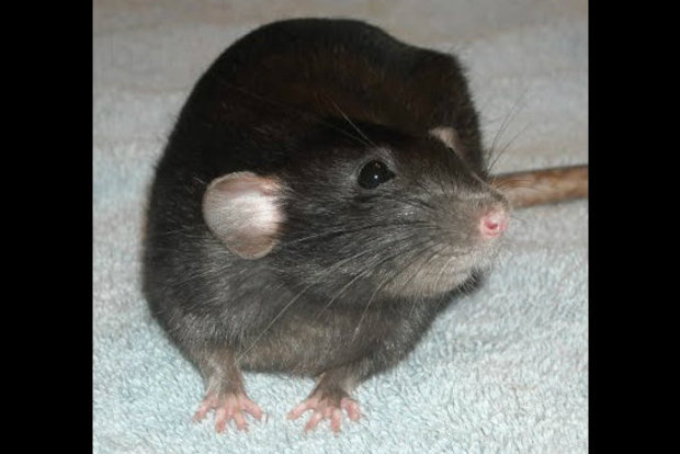 Domestic rats as pets are gaining popularity, owners and breeders say.
