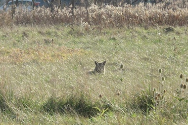 A family of coyotes lives in the 23-acre Dunning-Read conservation area, according to Dunning neighborhood Organization president